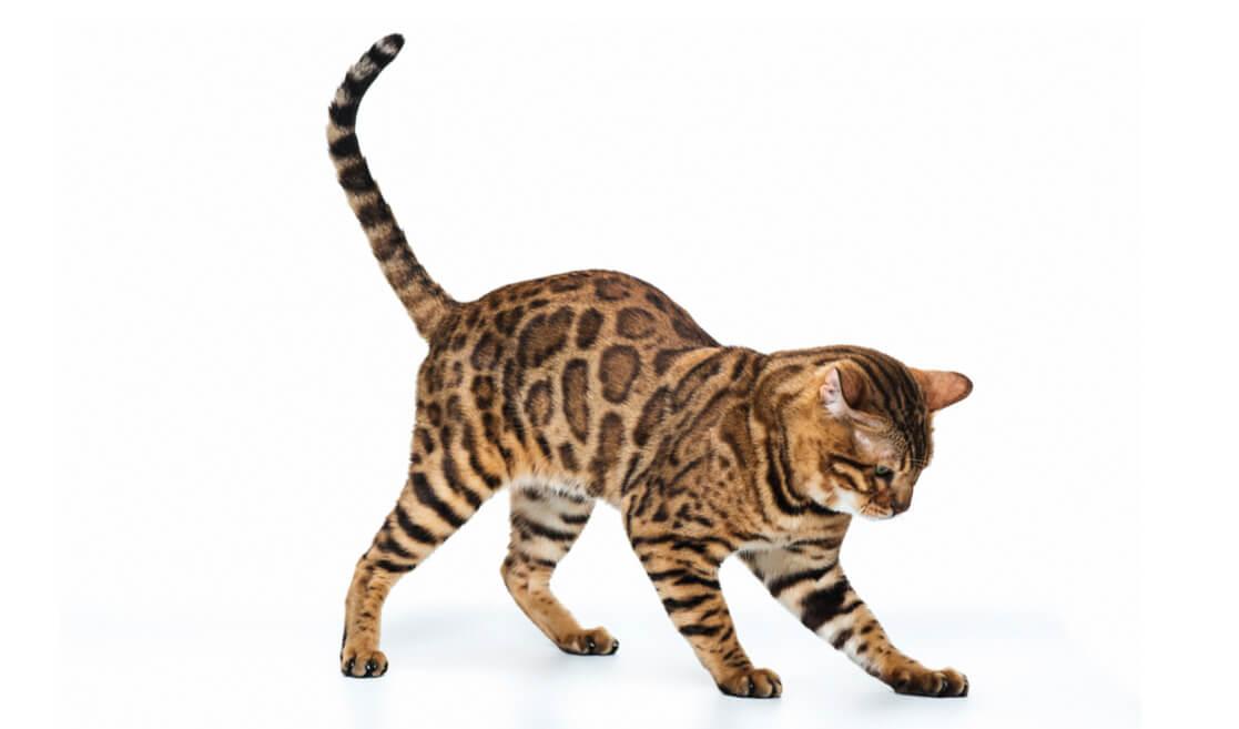 Gato Begalí