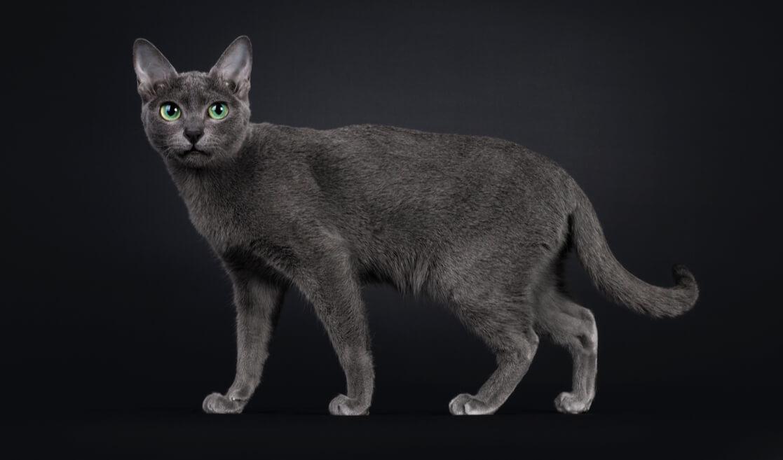Gato Korat
