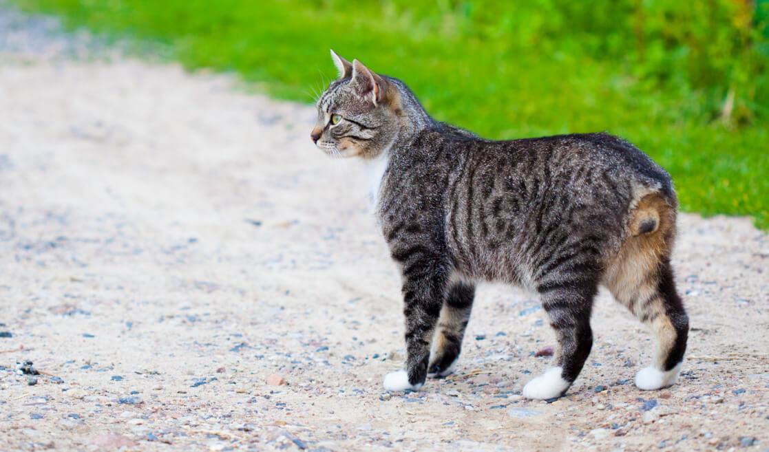 Raza de gato sin cola