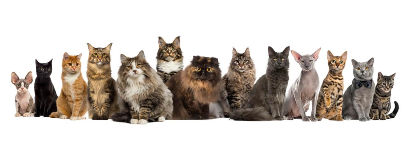 Razas de gato más populares en el mundo