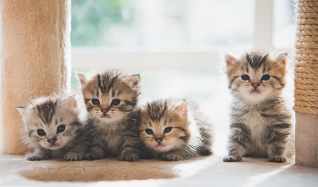 Camada de gatos bebés