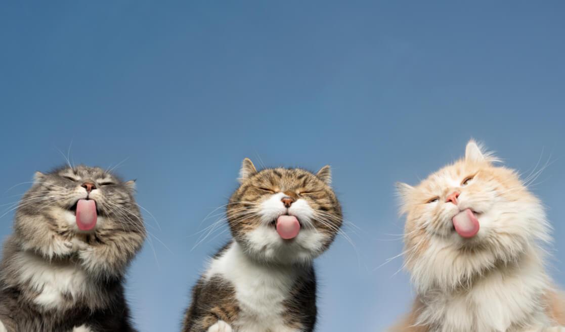 gatos enseñando la lengua