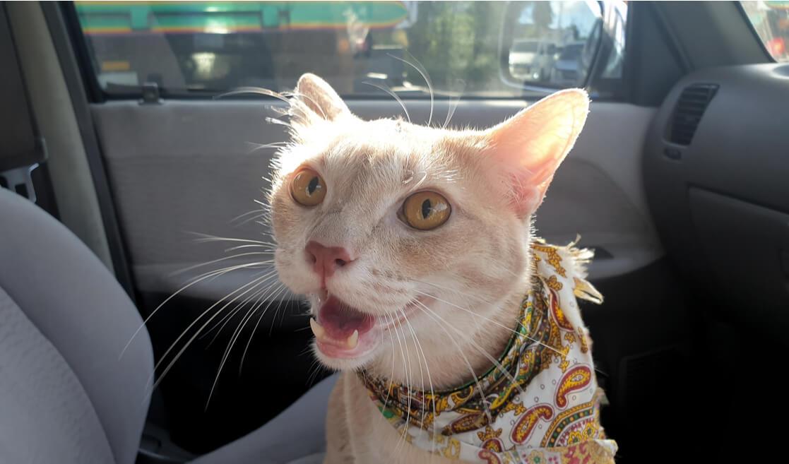 Gato jade en coche