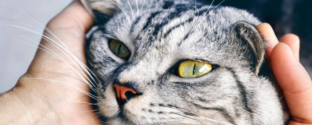 toxoplasmosis en los gatos