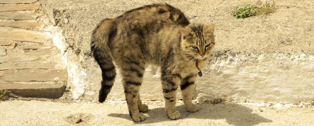 razones por las que se erizan los gatos