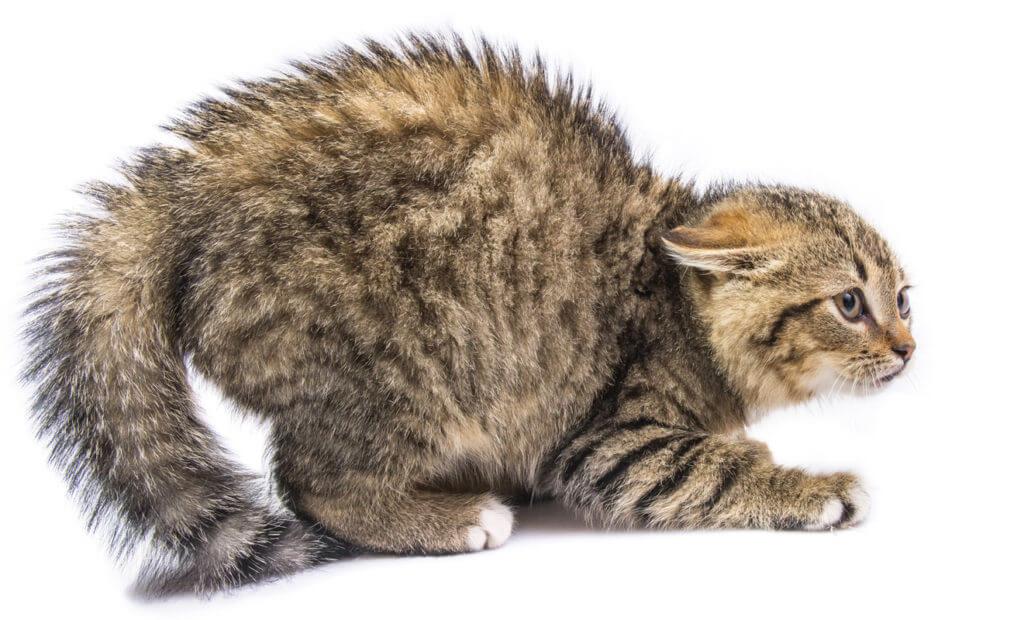 por qué se erizan los gatos, puede ser miedo