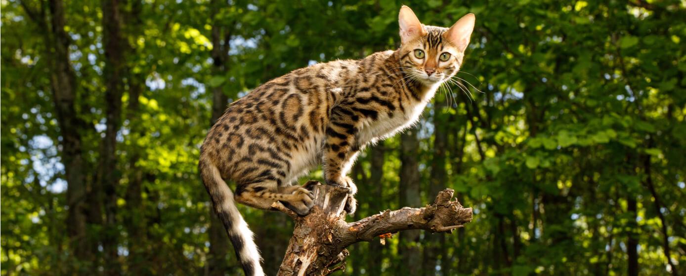 Mini leopardo doméstico: curiosidades y cuidados