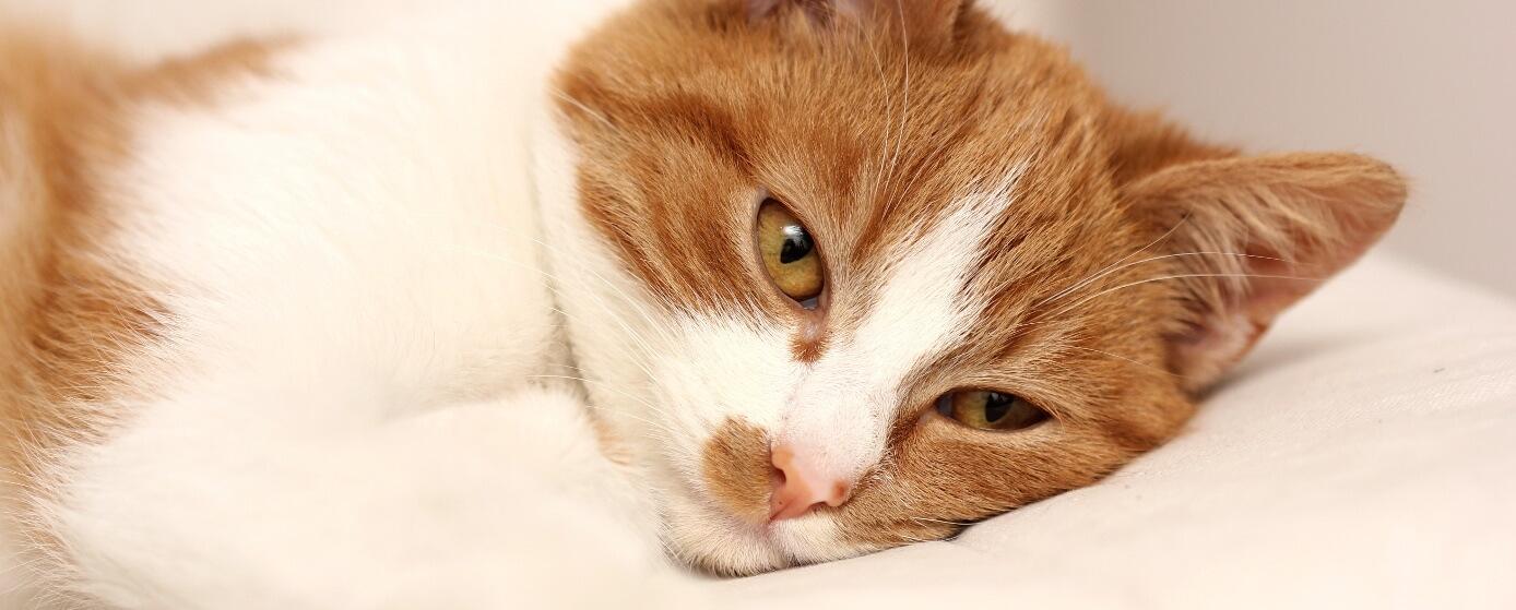 Problemas urinarios en los gatos todo lo que debes saber