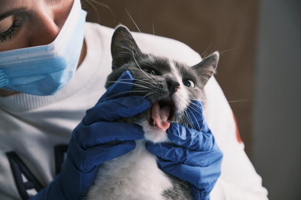 enfermedades de la vejiga en los gatos