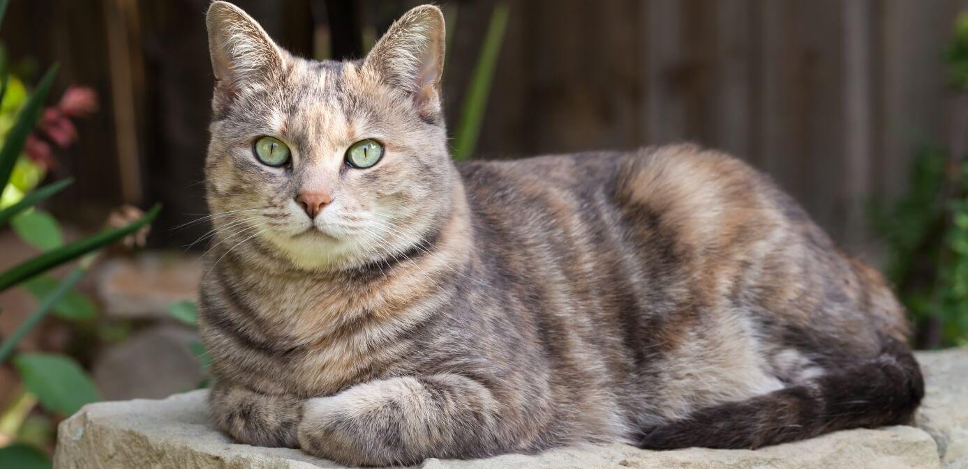 gato mexicano y sus características