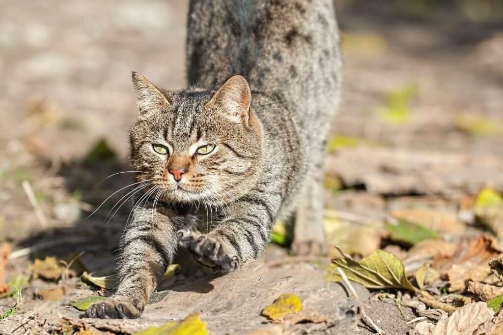 gato mexicano doméstico