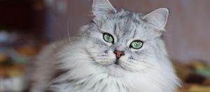 razas de gatos en el mundo