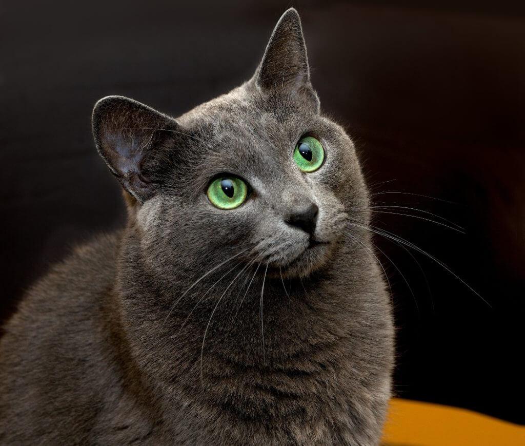 gato gris azul ruso