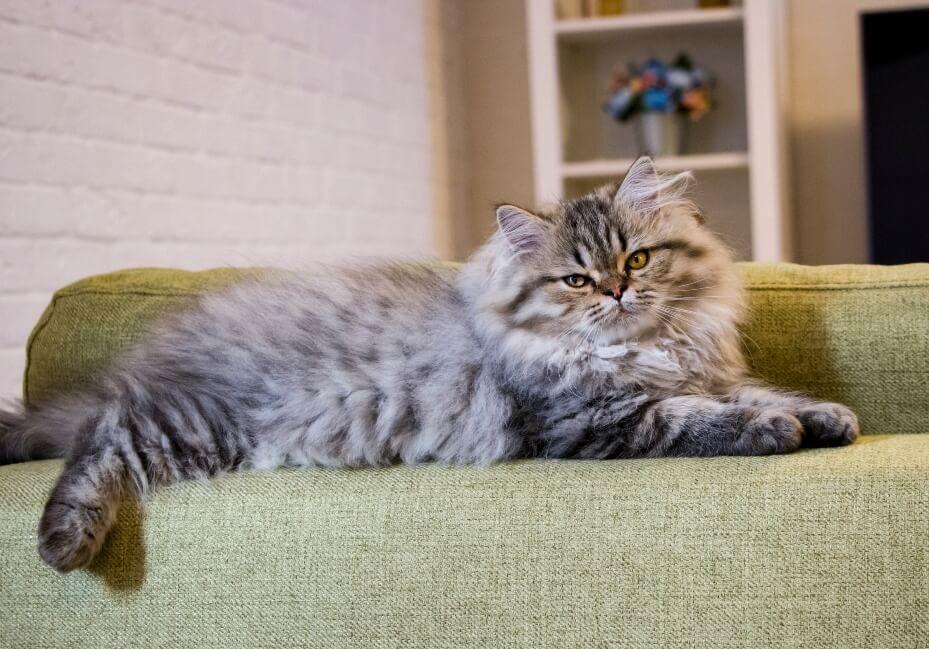 gatos grises persa