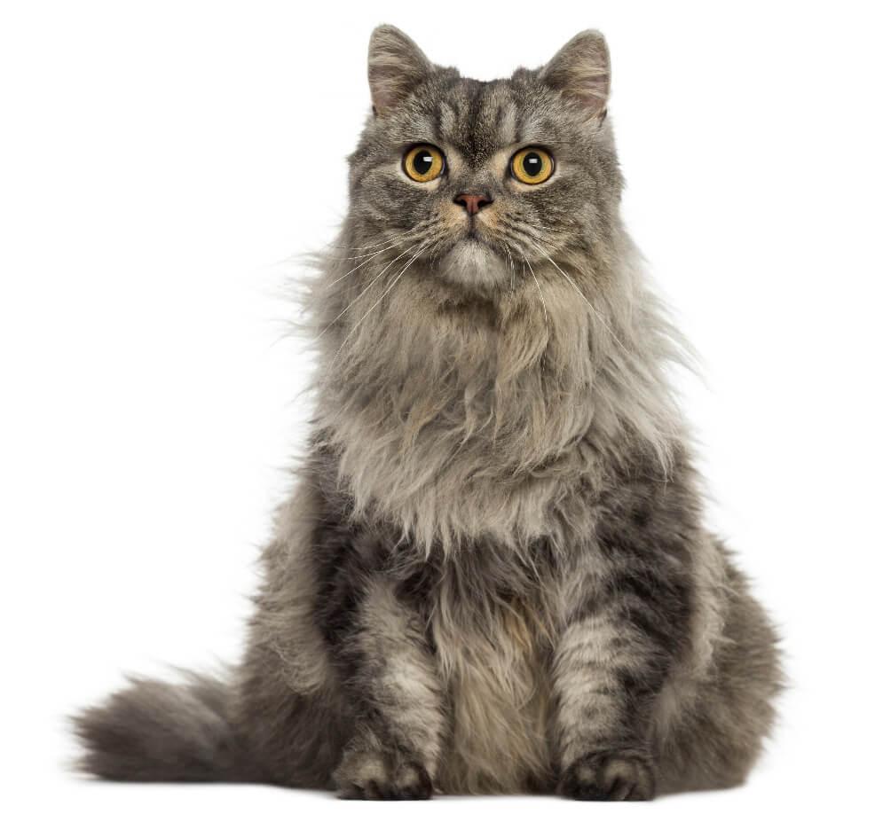 el gato angora turco también puede ser gris