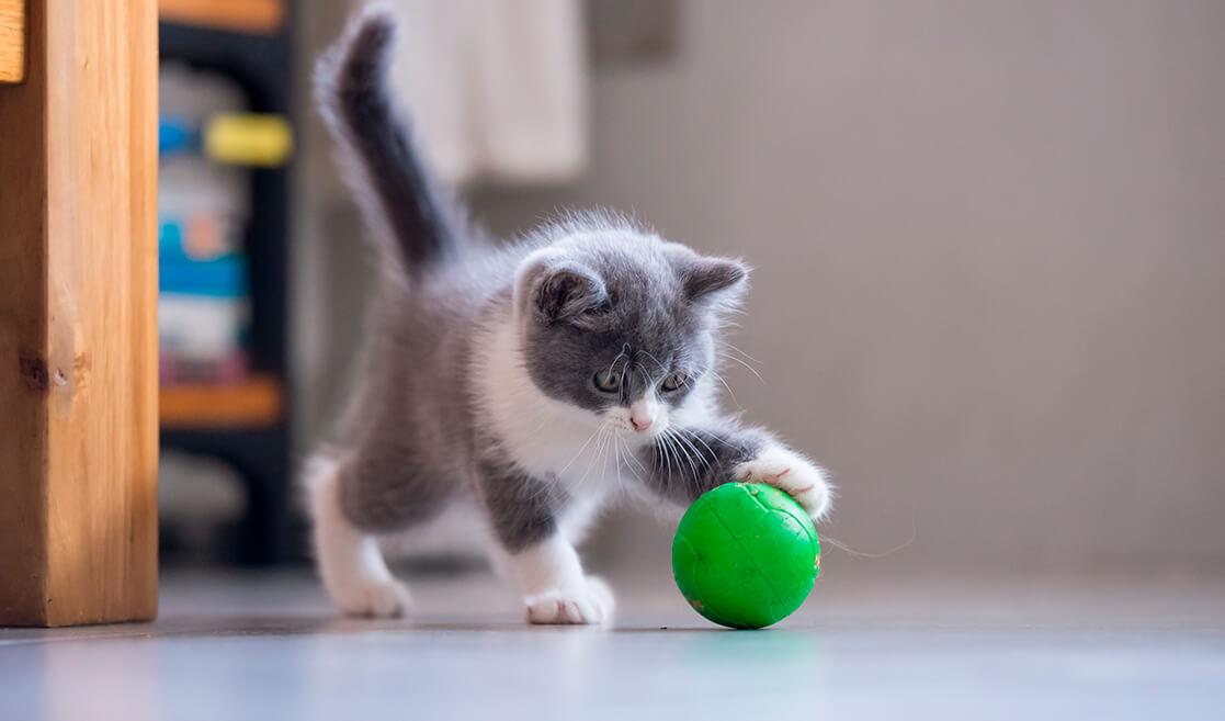 Gato juega con pelota