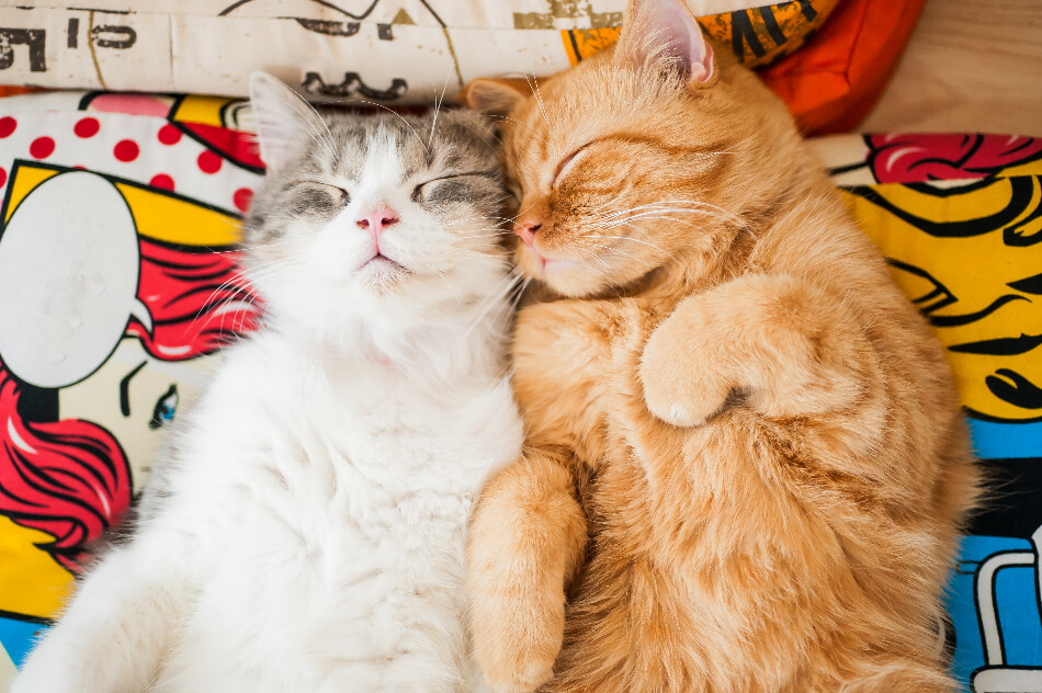Skoon® Fest primer congreso online para catlovers