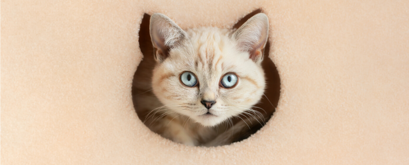 Los gatos no tienen clavícula