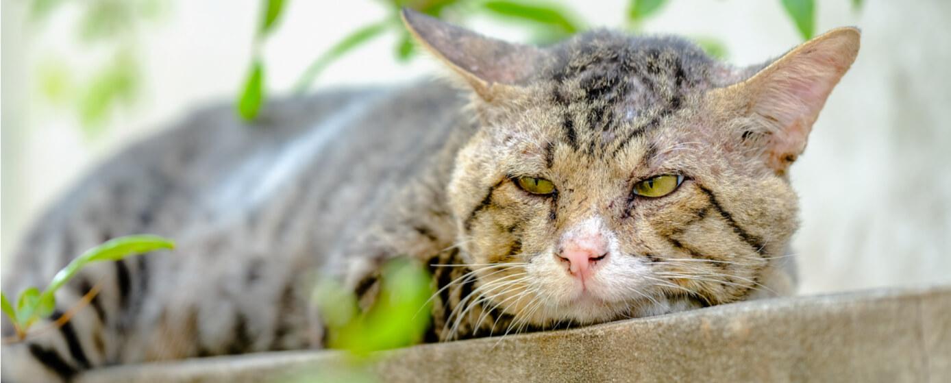 Señales de envejecimiento en los gatos