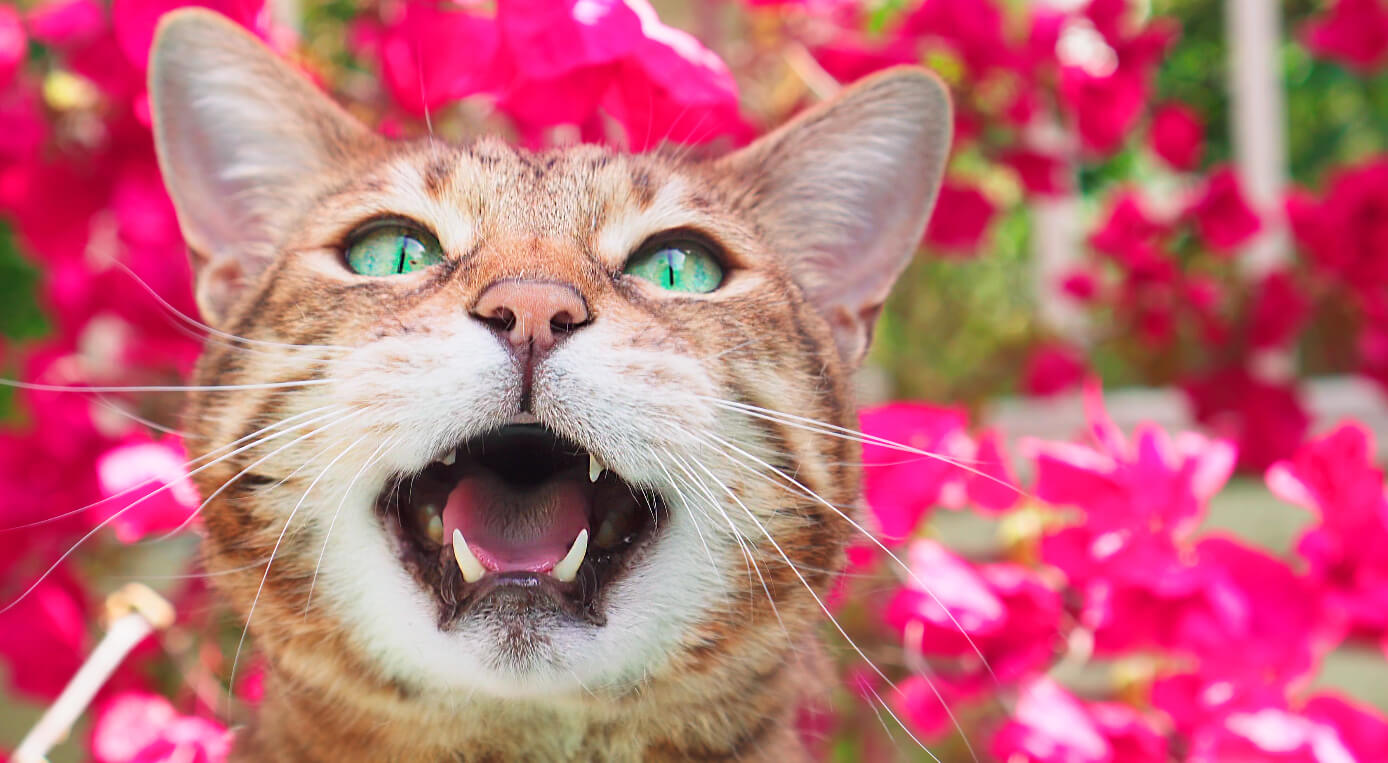 Los maullidos de los gatos y su significado