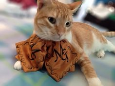Gato con moño de mariachi