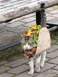 Gato disfrazado de taco