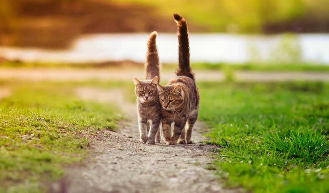 Gatos caminan con la cola arriba