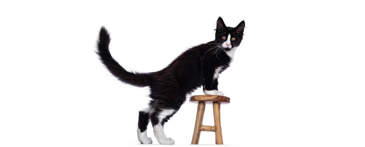 Los gatos se comunican con la cola